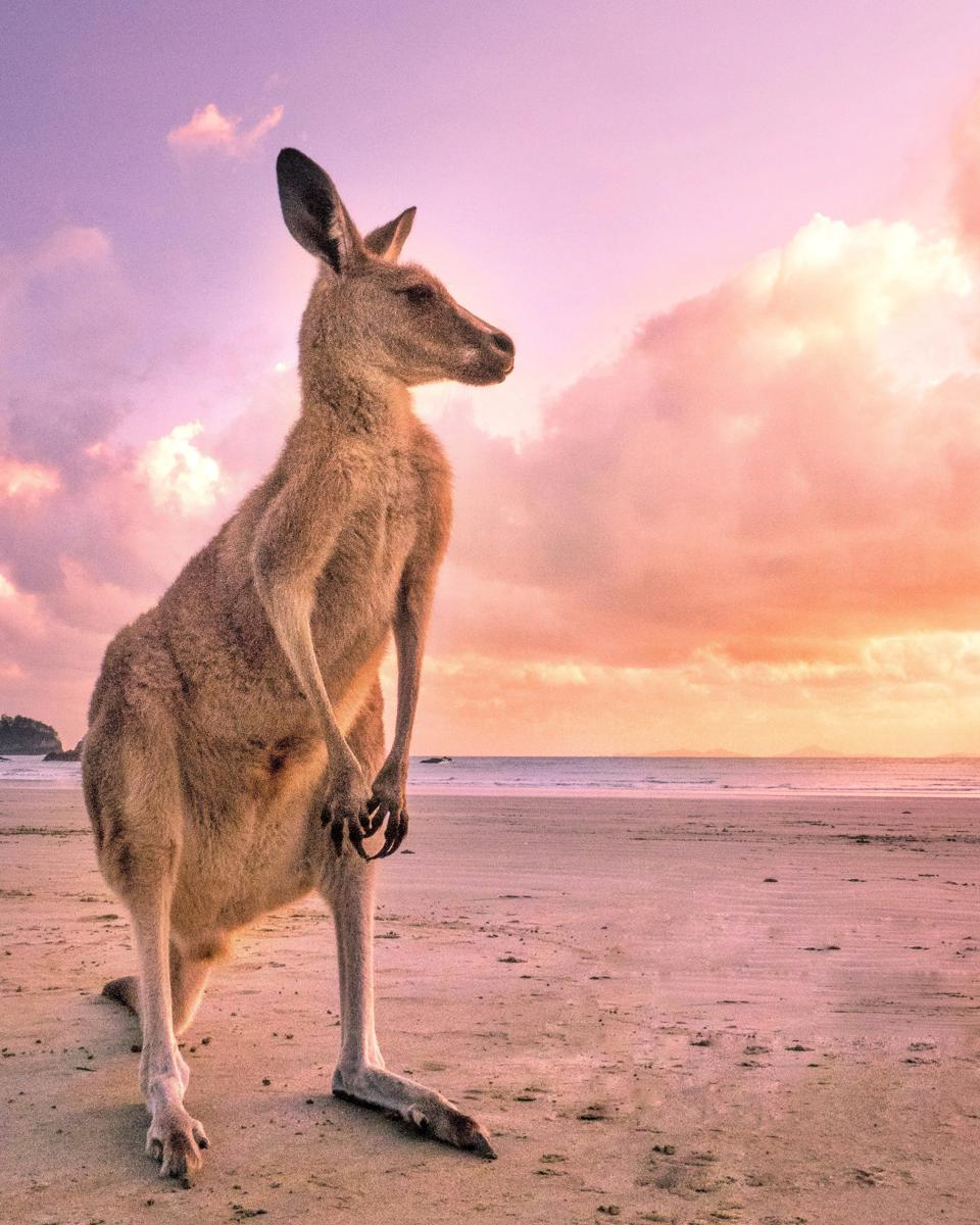 Kangaroo Looking Away While Standing At Beach Against Sky During Sunset