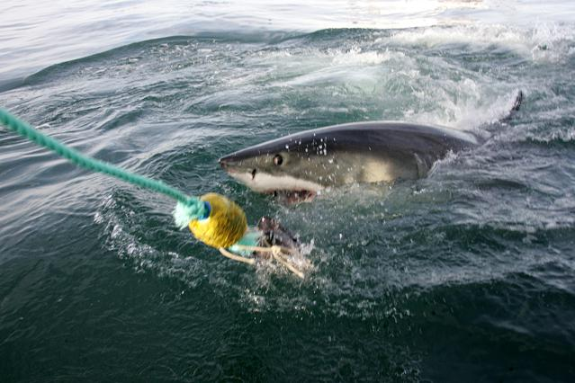 Five Things To Love About Sharks That You Won't Learn During 'Shark Week'