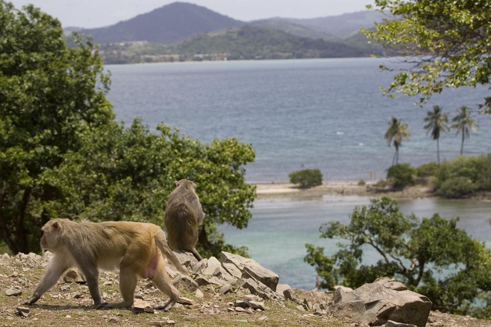 Rhesus macaque monkeys walks on Cayo Santiago